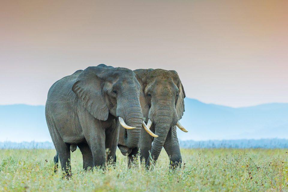 Two elephants walking side by side at Old Mondoro