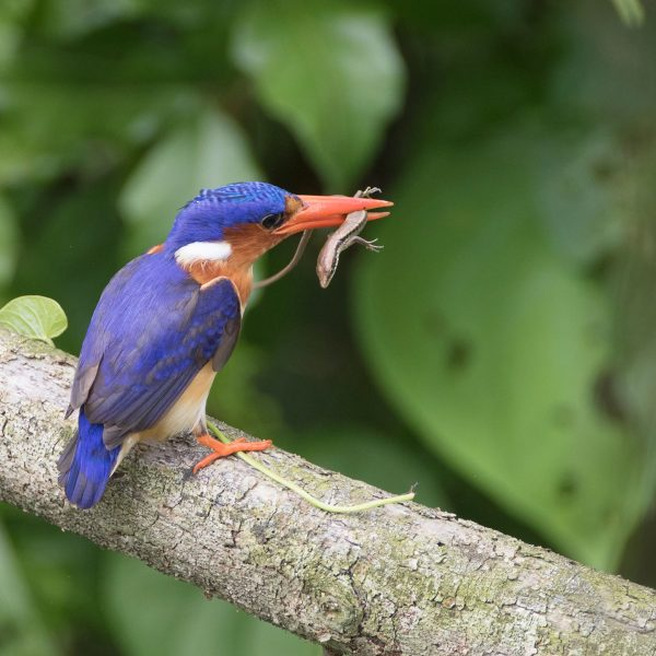 A kingfisher grabs a snack
