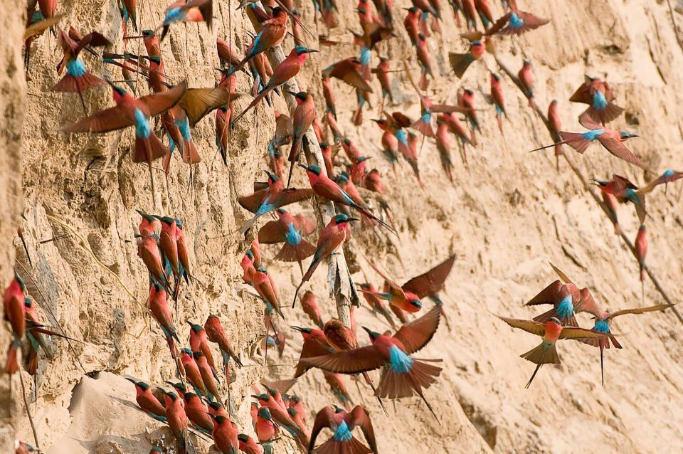 Carmine Bee-eaters nest inside the banks of the river