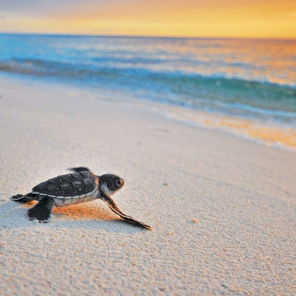 A turtle hatchling makes its way to the ocean for the first time, as the sun is setting