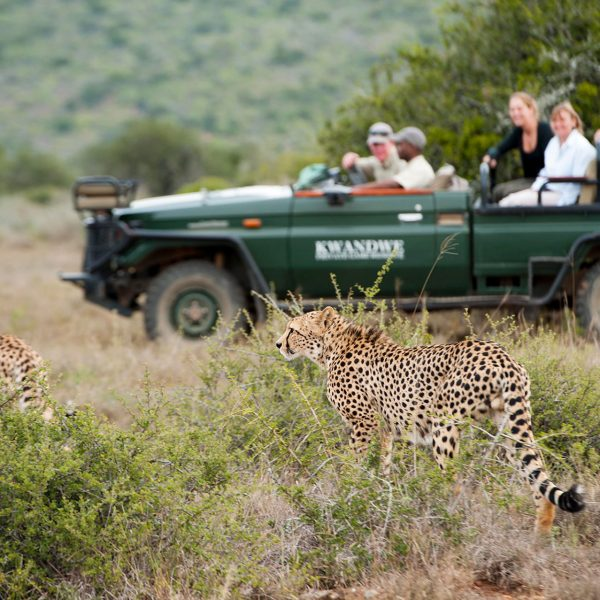A game vehicle with guests watching cheetah brothers at Kwandwe