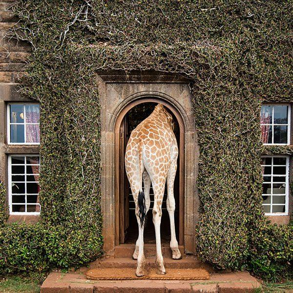 A giraffe sticks his upper body through the entrance door to Giraffe Manor
