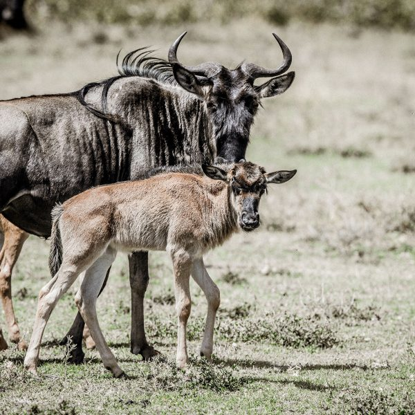A wildebeest mom and calf on the plains