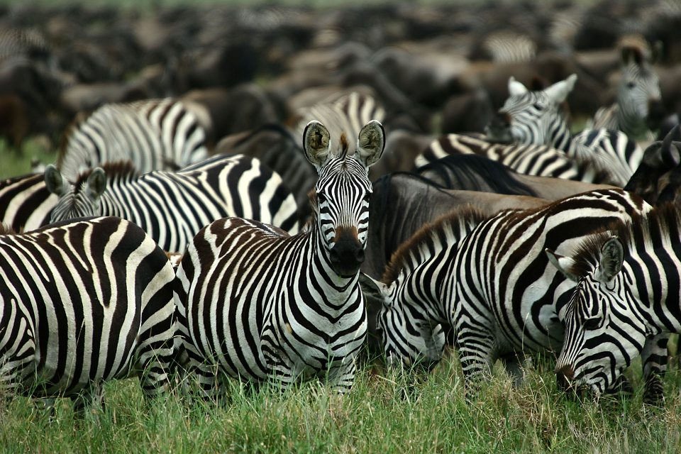 A zebra looks at the camera amongst hundreds of other zebras and wildebeest grazing on the grass
