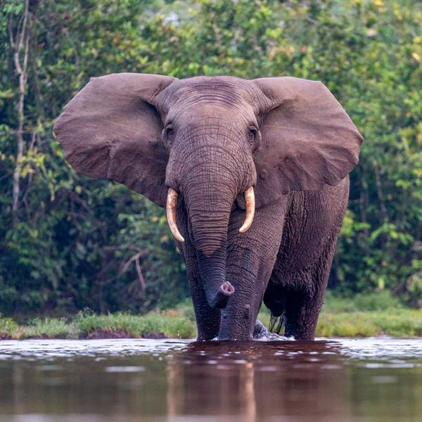 The African Forest Elephant walks through the water