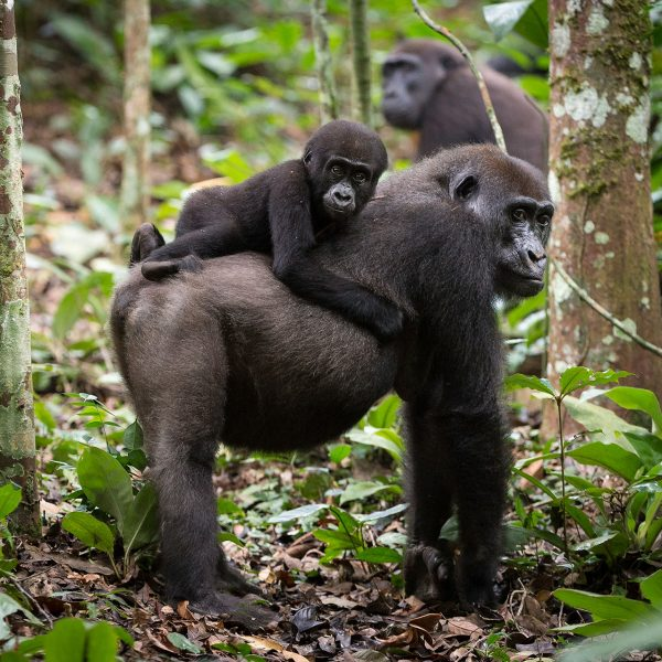 a young gorilla goes for a ride on its mom's back
