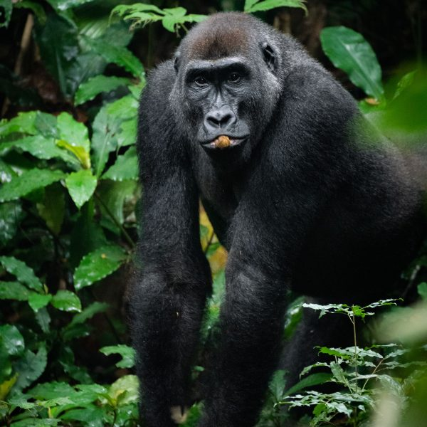 A large male gorilla with a nut in his mouth
