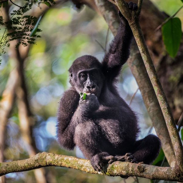 A gorilla enjoys some lunch in the tree