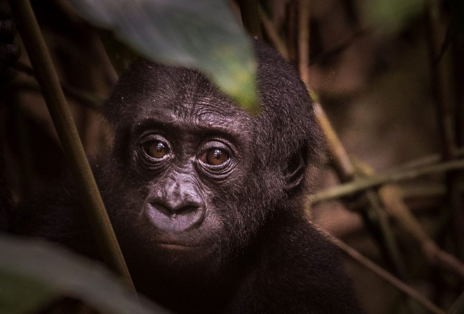 A baby gorilla looks right at the camera