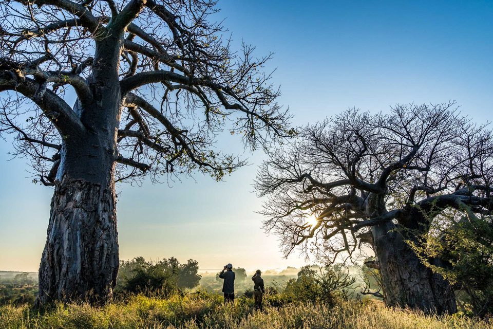 Guests stand between two large Baobab trees