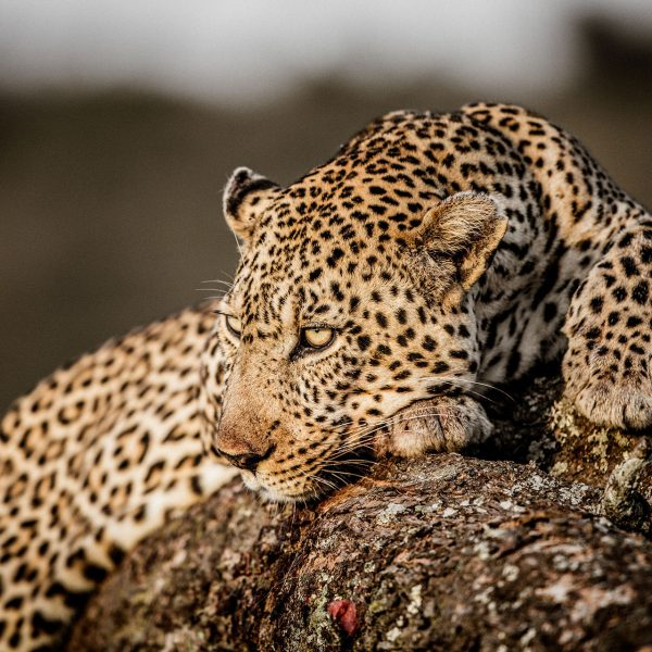A leopard rests on a rock