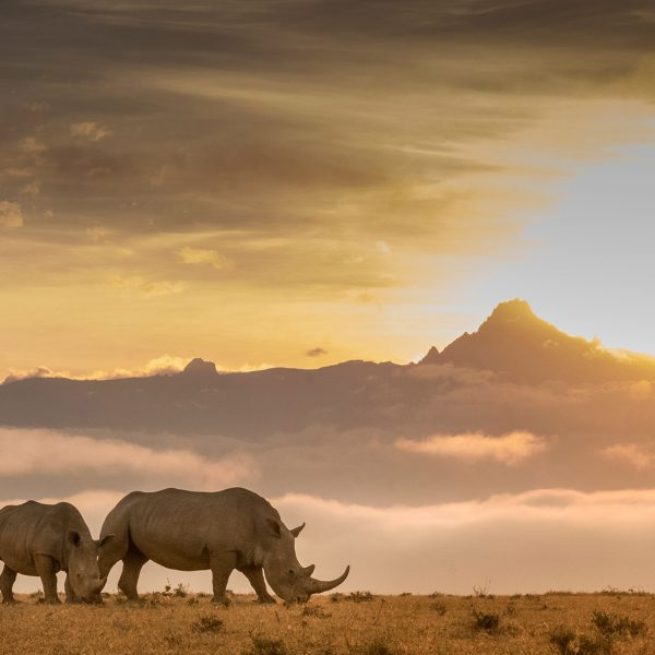 2 rhinos graze on the grass with the sun setting behind Mt Kenya