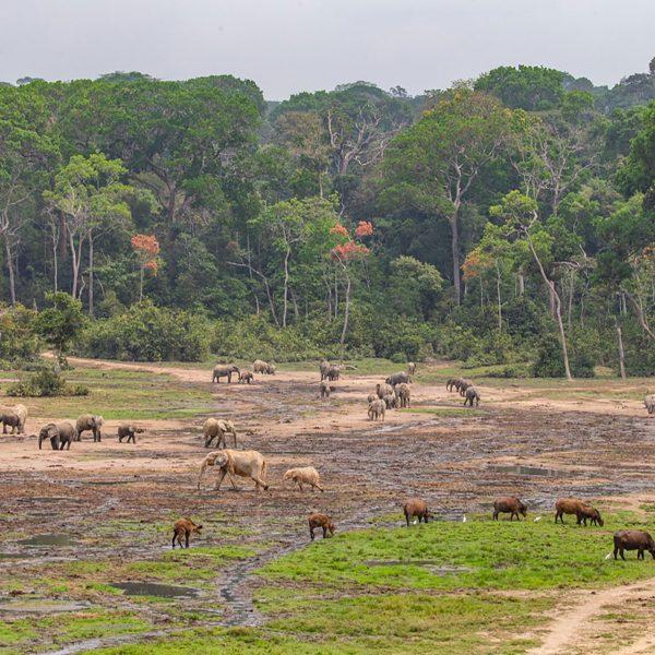 Elephants, buffalo and birds congregate around a baï