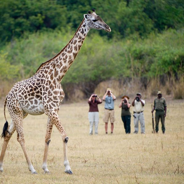 Guests on a walking safari watch as a giraffe passes by them