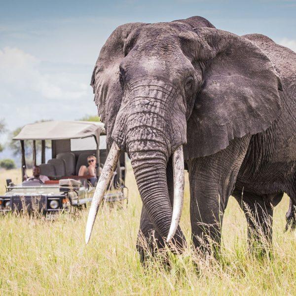 Big tuskers at Chem Chem Safaris